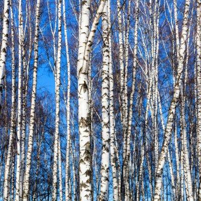 Фотообои белые березы стволы и голубое небо