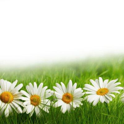 Фотообои Белые цветы ромашки в зеленой траве