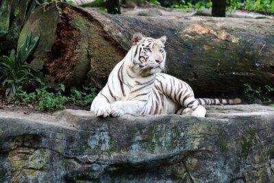 Фотообои Белый тигр 4