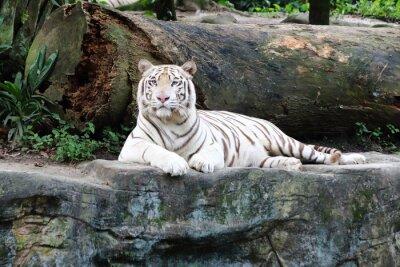 Фотообои Белый тигр 5