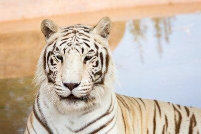 Фотообои Белый тигр в зоопарке