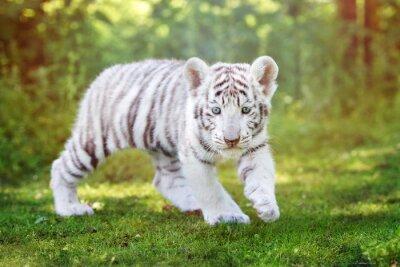 Фотообои белый тигренок прогулки на свежем воздухе