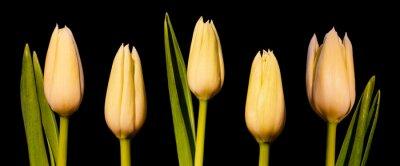 Фотообои Белый тюльпан Панорама