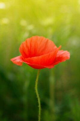 Фотообои дикий цветок мака на поле