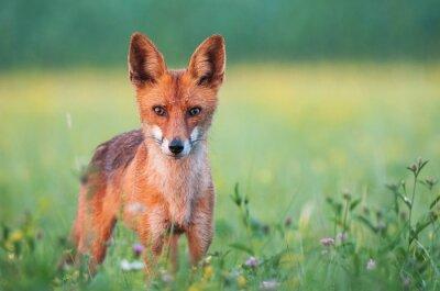 Фотообои Дикий красная лиса смотрит в камеру