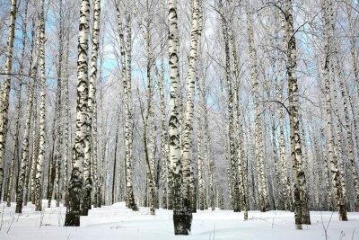 Фотообои Зимняя березовая роща с покрытых снегом ветвями