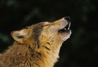 Фотообои Wolf Howling Портрет