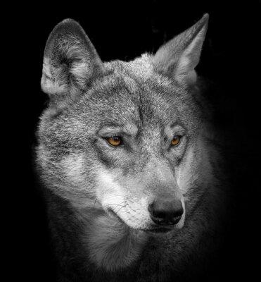 Фотообои волк портрета