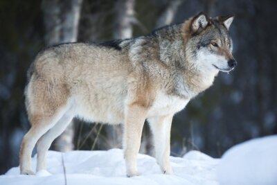 Фотообои Волк стоял в холодный зимний лес