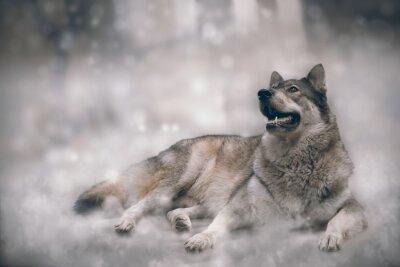 Фотообои Волк / Хороший Волк на фоне снега.