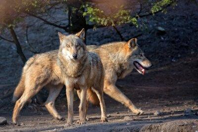 Фотообои Волки в дикой природе