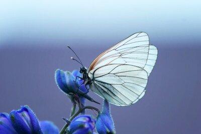 Фотообои белая бабочка на синем цветке