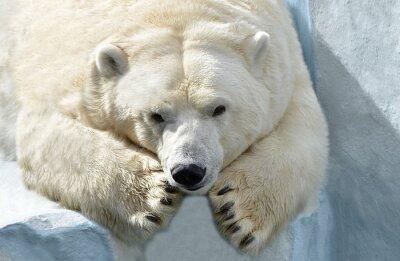 Фотообои Белый медведь.