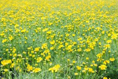 Фотообои Желтое поле одуванчика.