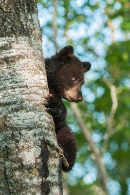Фотообои Молодой черный медведь (Ursus атепсапиз) на стороне Дерева