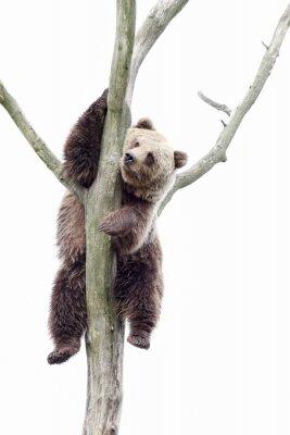 Фотообои Young brown bear in a tree