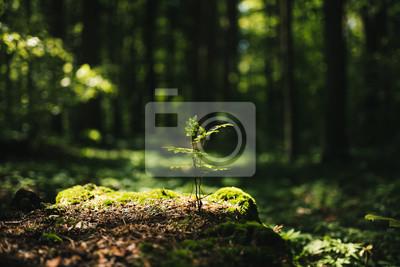 Фотообои Young rowan tree seedling grow from old stump in Poland forest.
