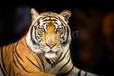 Фотообои Молодой амурский тигр на темном фоне в действии, глядя на камеру