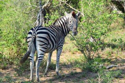 Фотообои Зебра в Африке Оглядываясь назад