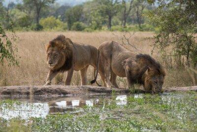 Фотообои Zwei Löwenbrüder ам Wasserloch