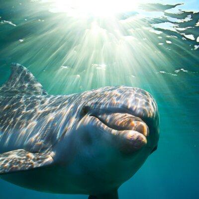 Плакат A dolphin underwater with sunbeams. Closeup portrait