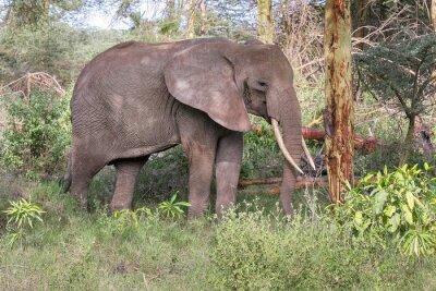 Плакат Взрослый слон с большими бивнями стоять в профиле возле ствола дерева. Национальный парк Озеро Маньяра, Танзания, Африка.