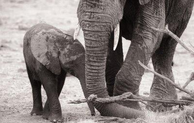 Плакат Африканский слон теленок