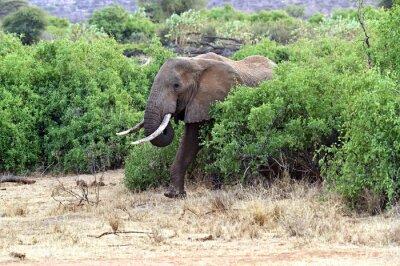 Плакат Африканские слоны в саванне