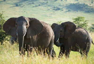 Плакат Африканские слоны на африканской саванне