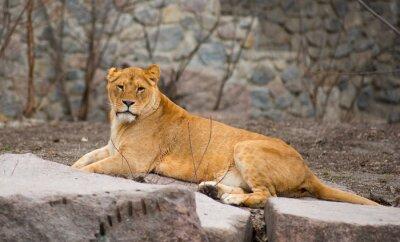 Плакат Африканский лев