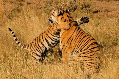 Плакат Ласковая момент между бенгальский тигр и ее детеныша