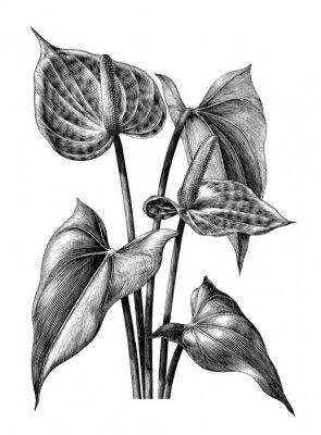 Плакат Антуриум ботанические старинные гравюры иллюстрации картинки на белом фоне