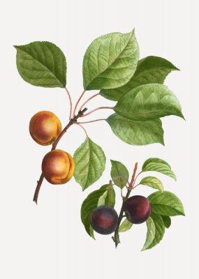 Плакат Apricots and plums