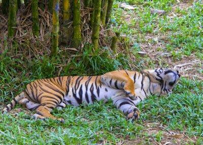 Плакат Азиатский тигр.