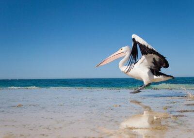 Плакат Австралия, Yanchep Лагуна, 04/18/2013, австралийский пеликан взлет в полете от австралийским пляжа