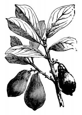 Плакат Avocado vintage illustration.