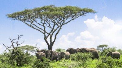 Плакат слоненок догоняет это стадо слонов, стоящих под деревом акации на ландшафт Серенгети Саванна