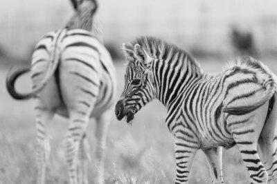 Плакат Детские Zebra