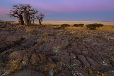 Плакат Baobabs в раннем утреннем свете