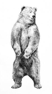Плакат Bear illustration of dangerous animal standing on hind legs, hand drawn grizzy bear pencil sketch, wild animal