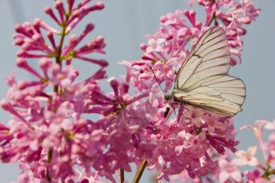 Плакат красивая бабочка сидит на цветы сирени