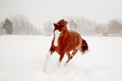 Плакат Красивая каштановый лошадь работает в снежном поле свободного