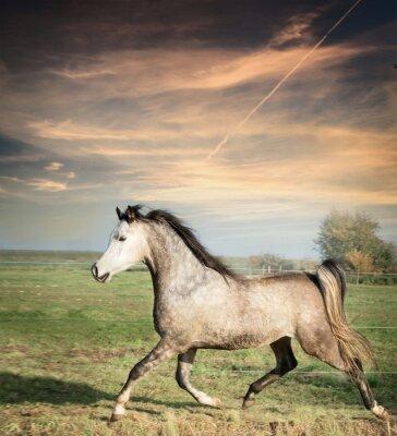 Плакат красивый серый жеребец лошадь работает на свободном над пастбищами фоне
