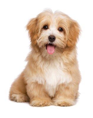 Плакат Красивая красновато Havanese щенок сидит лобовое