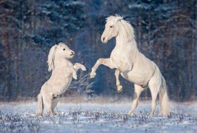 Плакат Красивый белый андалузский жеребец играет с небольшим количеством Шетландские пони зимой