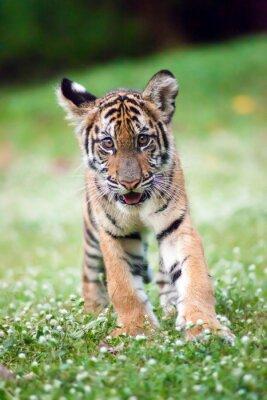Плакат Бенгальский тигр ребенок ходит по лугу.