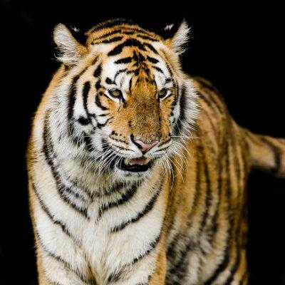 Плакат Бенгальский тигр