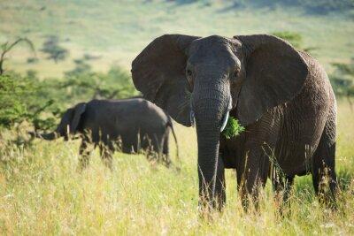 Плакат Большой африканский слон в Национальный парк Серенгети