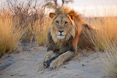 Плакат Большой мужской африканского льва, Калахари