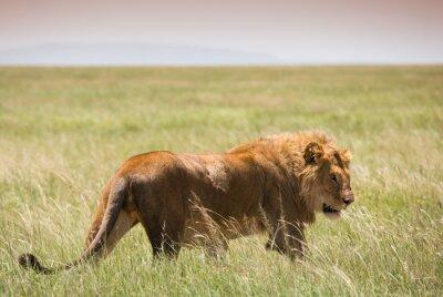 Плакат Большой Молодой лев в Национальном парке Серенгети